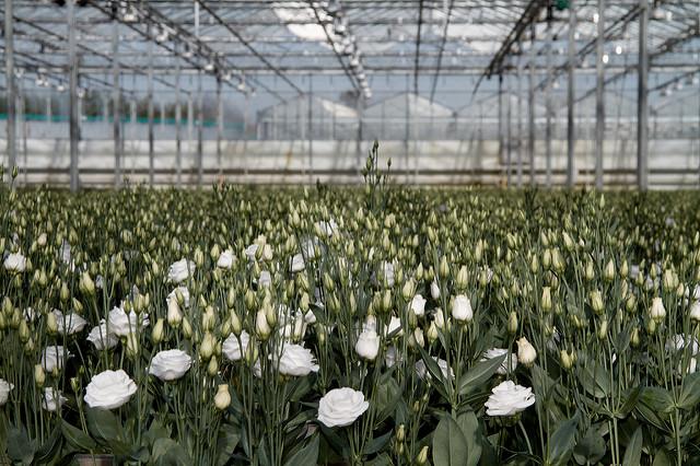 rozenkwekerij (frans de wit flickr)